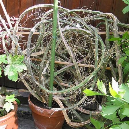was ist das f r ein kaktus pflanzenbestimmung. Black Bedroom Furniture Sets. Home Design Ideas